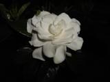 Gardenia by azladyme, Photography->Flowers gallery