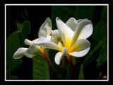 framed plumerias by jeenie11, Photography->Flowers gallery
