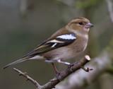 Female ... by biffobear, photography->birds gallery