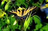tiger swallowtail by jeenie11, Photography->Butterflies gallery