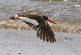 Diving Oystercatcher by legster69, Photography->Birds gallery