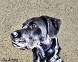 Studio Dog by JaiJoli, photography->pets gallery
