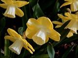 """""""Lemon Glow"""" Daffodils by trixxie17, photography->flowers gallery"""