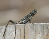 Leapin' Lizards! by Skynet5, Photography->Animals gallery