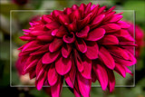 Dahlia Show 20 by corngrowth, photography->flowers gallery