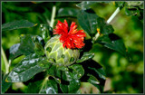 Safflower by corngrowth, photography->macro gallery