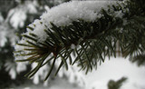 Frosted Pine Needles by TrevorMorgan, Photography->Macro gallery