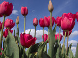 Beautiful Red Tulips by auroraobers, Photography->Flowers gallery