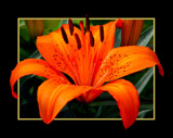 TIGER LILY by pikman, Photography->Flowers gallery