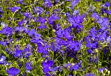 Lobelia by trixxie17, photography->flowers gallery