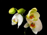 White Orchids by Ramad, photography->flowers gallery