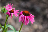 Purple Coneflowers by Pistos, photography->flowers gallery