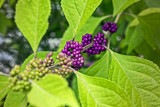 Callicarpa americana by reddawg151, photography->nature gallery