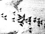 Black Birds by Obronca, Photography->Birds gallery