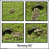 Burrowing Owl! by Dunstickin, photography->birds gallery