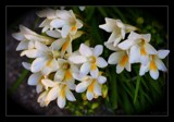 Freesias by LynEve, photography->flowers gallery
