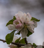 Soft Apple Blossoms by Pistos, photography->flowers gallery