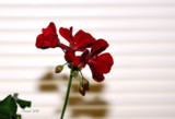 My Friday Contribution-The Geranium #2 by tigger3, photography->flowers gallery