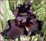 Iris Garden Lovely #3 by tigger3, photography->flowers gallery