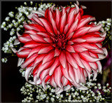 Dahlia Beautiful #9 by tigger3, photography->flowers gallery