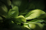 Hosta by nmsmith, Photography->Flowers gallery