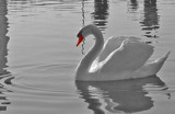 Yet Another Swan by braces, Photography->Birds gallery