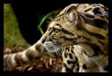 Felis Nebulosa by JQ, Photography->Animals gallery