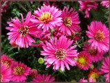 """Pretty in Pink"" Aster by trixxie17, photography->flowers gallery"