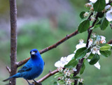 Birds & Blossoms 9 by muggsy, Photography->Birds gallery