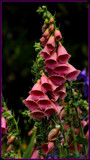 Garden Ornamental_The Foxglove by tigger3, photography->flowers gallery