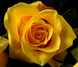 Surely, You Look Up To A Rose by braces, photography->flowers gallery