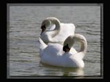 Steve's swans............... by fogz, Photography->Birds gallery