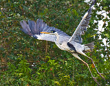 White Necked Heron 2 by jeenie11, photography->birds gallery