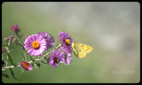 The Cloudless Sulphur Butterfly by tigger3, photography->butterflies gallery