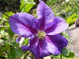 Purple Clematis by CUTiger1989, Photography->Flowers gallery