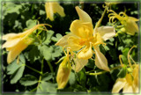 Columbine Canary by trixxie17, photography->flowers gallery