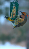 The Red Shafted Flicker by tigger3, photography->birds gallery