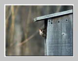 Nesting Screech Owl by gerryp, Photography->Birds gallery