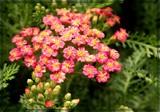 Rose Yarrow by trixxie17, photography->flowers gallery