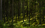 Sunlit Coniferous Forest by SEFA, photography->landscape gallery