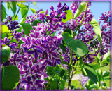 Lilacs by trixxie17, photography->flowers gallery