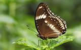 Brown Sugar by Paul_Gerritsen, photography->butterflies gallery