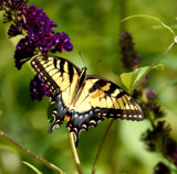 The Eastern Tiger Swallowtail by tigger3, photography->butterflies gallery