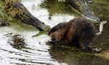Muskrat by Pistos, photography->animals gallery