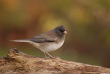 Juncos return by egggray, Photography->Birds gallery