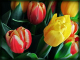 Tulips by trixxie17, photography->flowers gallery