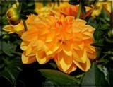 Golden Dahlia by trixxie17, photography->flowers gallery