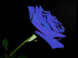 Blue Rose by ccmerino, photography->flowers gallery