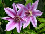 Clematis Up Close by jacked, Photography->Flowers gallery