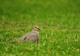 Mourning Dove by nessalovesnature, photography->birds gallery
